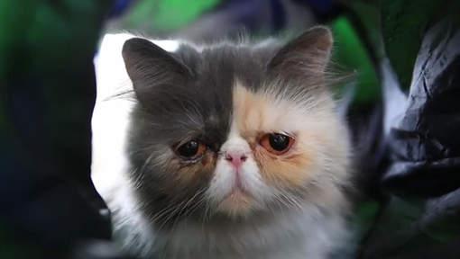 Pixie, le chat au regard le plus triste du monde
