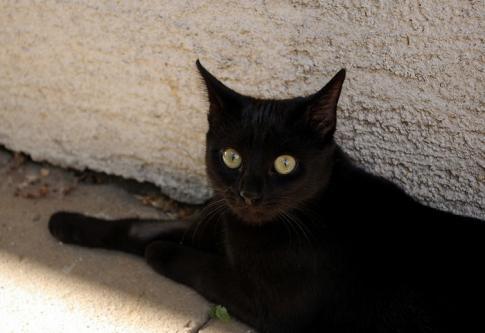 Les chats noirs, premières victimes des selfies