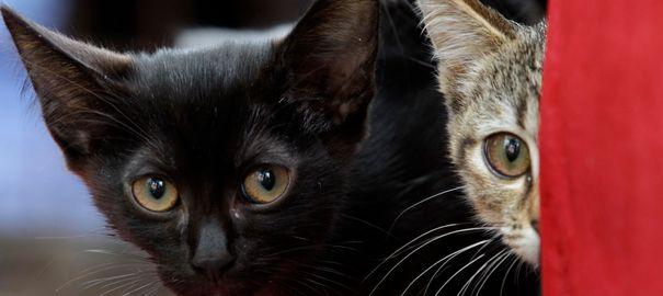 En Suisse, des protecteurs des animaux soutiennent la politique du chat unique