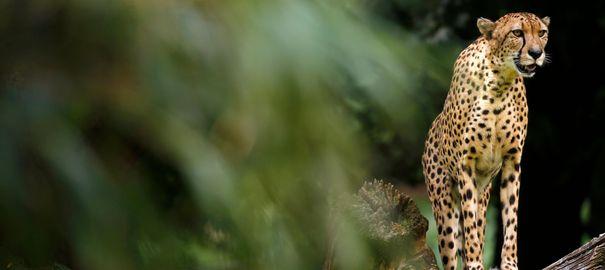 Guépards: l'animal le plus rapide du monde disparaît à vitesse grand V