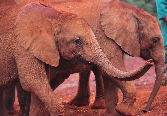Une marche dans Paris contre la disparition des éléphants et des rhinocéros