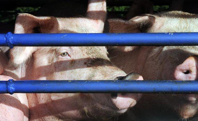Vers une remise à plat des normes sur le bien-être animal ?