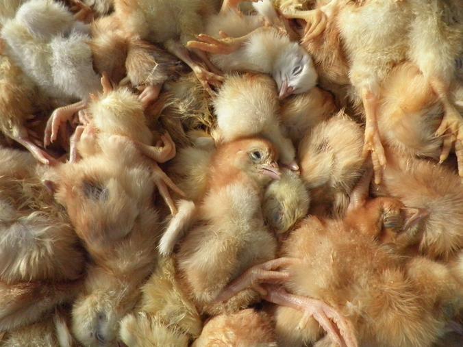 Bretagne : des poussins broyés et étouffés dans un couvoir