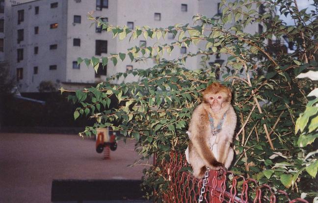 Ni tigre, ni gros chat: Un singe capturé en région parisienne