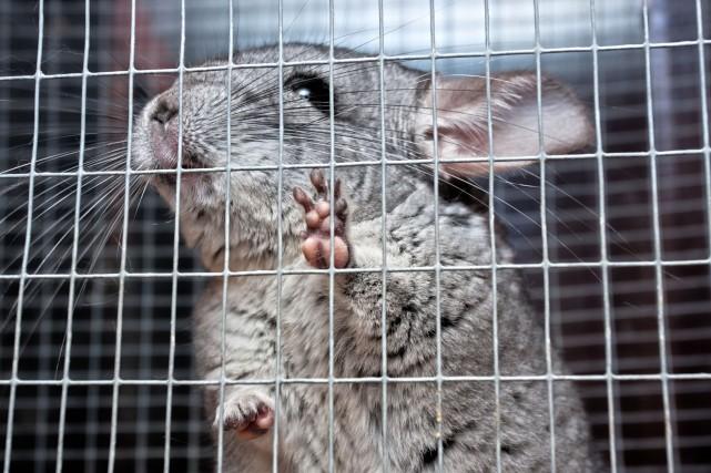 Sao Paulo interdit l'élevage d'animaux à fourrure