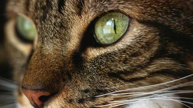 Pourquoi les yeux du chat luisent-ils dans le noir ?
