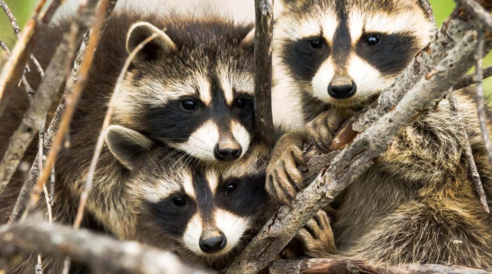 Canards, araignées, ratons laveurs… quand les animaux nous envahissent