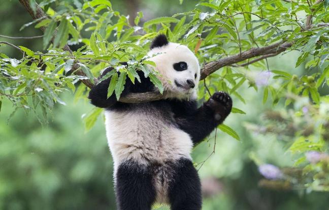Droits des animaux: Les pandas auraient-ils plus de droits que les rats?