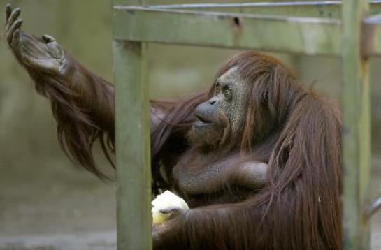 Droit des animaux: liberté ordonnée pour un orang-outan en Argentine