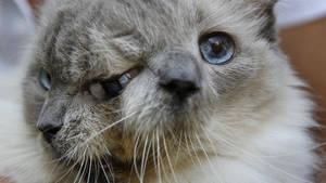 Disparu en décembre dernier, Frankenlouie est le chat à deux visages le plus célèbre du monde. Il a même réussi à se faire une place dans le livre des records grâce à sa longévité exceptionnelle au vue de sa condition. Retour sur l'histoire du plus vieux chat Janus à avoir existé.  En savoir plus: http://www.maxisciences.com/chat/frankenlouie-l-039-incroyable-chat-aux-deux-visages_art34166.html Copyright © Gentside Découverte
