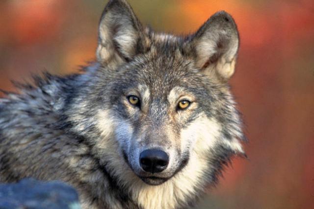 Le loup a autant de compétences sociales que le chien
