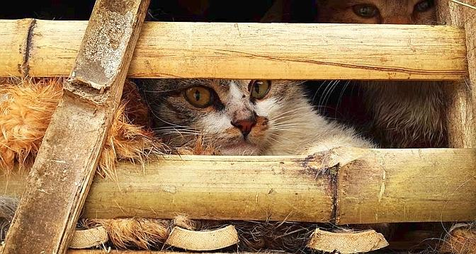 Peut-on manger du chat? Une saisie au Vietnam ravive la polémique