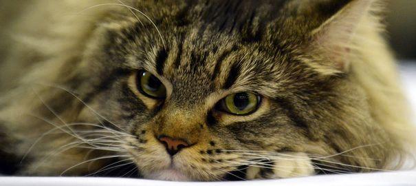 Dans le Nord, un chat sauve ses maîtres de l'intoxication