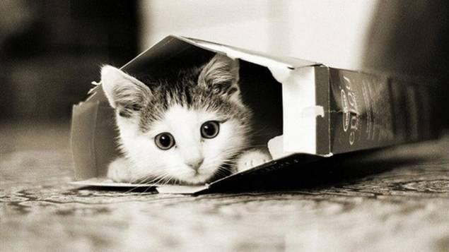 Voilà pourquoi les chats aiment tant les boîtes