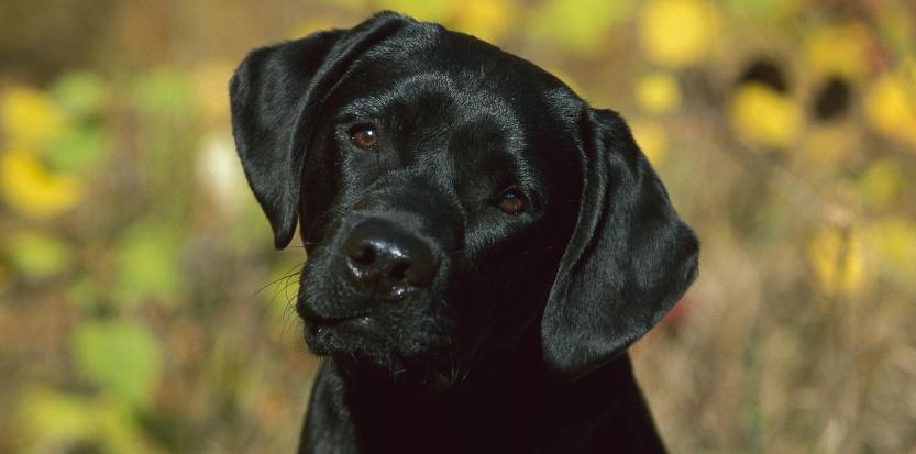 Qu'est ce que la leishmaniose canine ?