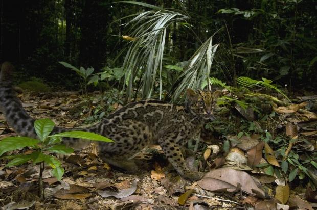 Le chat marbré, un animal rare et timide