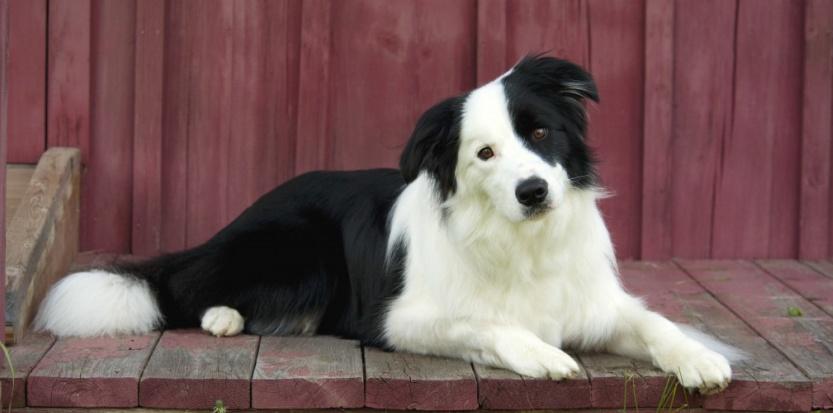 Douleur chez le chien : comment la détecter ?
