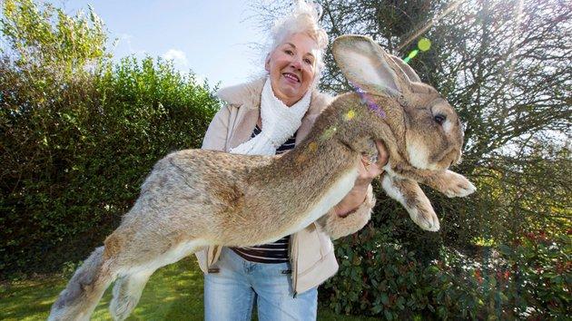 Angleterre : le plus grand lapin du monde bientôt dépassé par son fils
