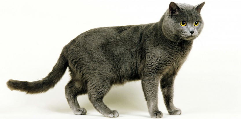 Le Chartreux, un chat made in France