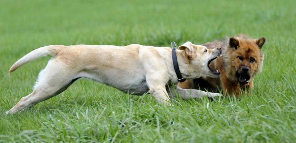 Les chiens sont moins tolérants envers leurs congénères que les loups