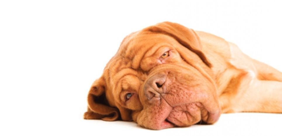 Que faire pour redonner de l'entrain à un chien en deuil ?