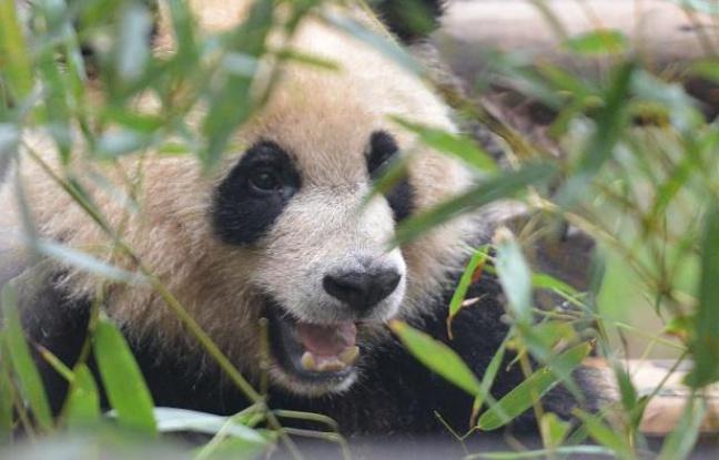 Panda: L'animal serait incapable de digérer le bambou
