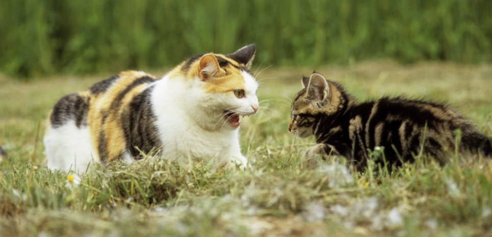 Comment préparer son chat à l'arrivée d'un nouveau chaton ?