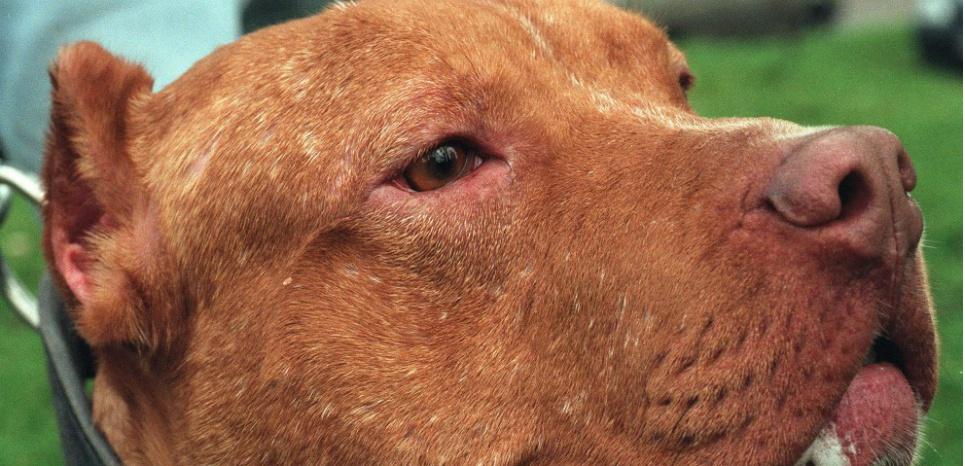 Première transmission de la peste du chien à l'homme