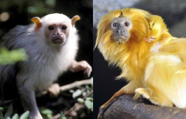 Vol de singes: Pourquoi les espèces menacées sont devenues la cible privilégiée des trafiquants