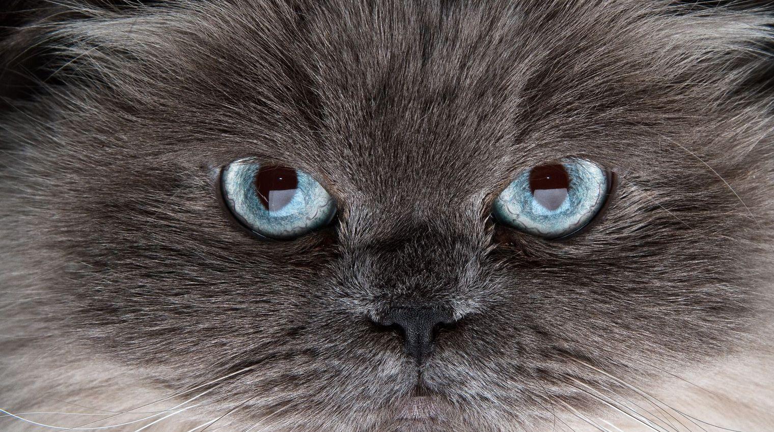 Votre chat peut-il vous rendre bipolaire?