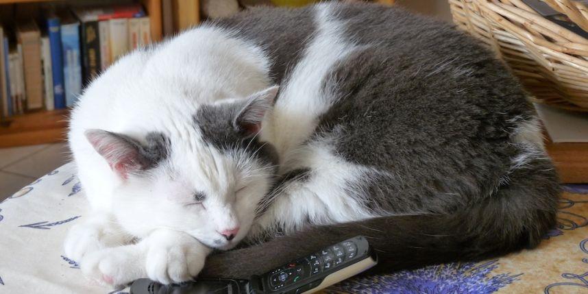 La belle histoire du jour : un chat sauve son maître en appelant lui-même les urgences