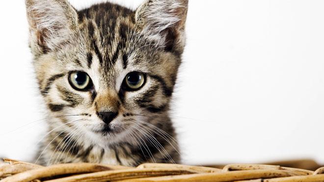Les refuges pour animaux débordés par les abandons de chatons: