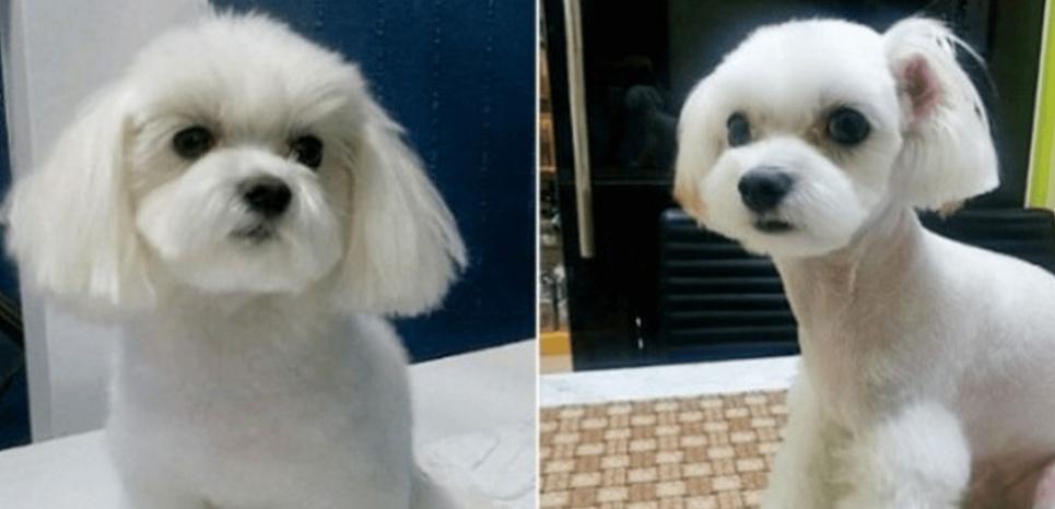 Les coréens, adeptes de chirurgie esthétique pour... leurs animaux