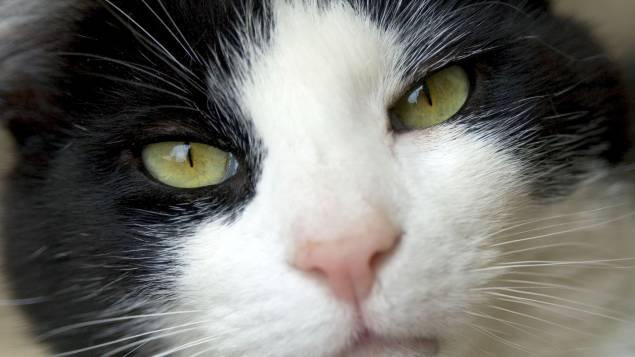 Accueil     programmes     Les pourquoi - 2015/2016     2015-2016  Pourquoi les yeux de certains animaux ont la pupille verticale, et d'autres horizontale ? Les Pourquoi par Philippe Vandel samedi 5 septembre 2015      inShare  Phillippe Vandel se penche cette semaine sur le mystère des pupilles verticales et horizontales de certains animaux. Mais pourquoi cette différence ?  Regardez les yeux d'un alligator,  ou si vous n'en avez pas chez vous, les yeux d'un chat : sa pupille est verticale. C'est comme si son œil était en I majuscule à l'intérieur d'un O majuscule. Inversement, les yeux d'une chèvre, d'un cheval ont une pupille horizontale comme un long tiret à l'intérieur du O.  Les yeux ont ceci de particulier qu'ils ont quasiment tous la même structure d'une espèce à l'autre, alors qu'il y a tant de différences dans les pattes ou dans la mâchoire,  ou le système respiratoire ( il n'y a qu'à voir les batraciens ou les reptiles).   Bref, certains ont la pupille verticale (comme le serpent à sonnettes) et d'autres la pupille horizontale (comme la grenouille). Pourquoi cette différence ?      La théorie des chercheurs anglo-saxons  C'est une question qui intrigue les chercheurs depuis des décennies et dont la réponse a été donnée en août dernier par  une équipe de l'université de Berkeley en Californie et de Durham en Grande-Bretagne. Ils ont étudié pas moins de 214 espèces ; puis ils ont créé un modèle informatique à partir de l'œil du mouton pour valider leur théorie.   Voici leurs conclusions. Quand la la pupille du modèle était horizontale, plus de lumière pouvait être capturée à gauche et à droite de l'œil, et inversement moins de lumière par en dessous et au-dessus de l'œil.  Cela permet aux animaux de pâturage de mieux détecter les prédateurs qui approchent. Inversement, une pupille verticale aide un prédateur en embuscade à mieux estimer la distance par rapport à sa proie, ce qui est primordial pour lui mettre un coup de patte au bon endroit. C'est un princi