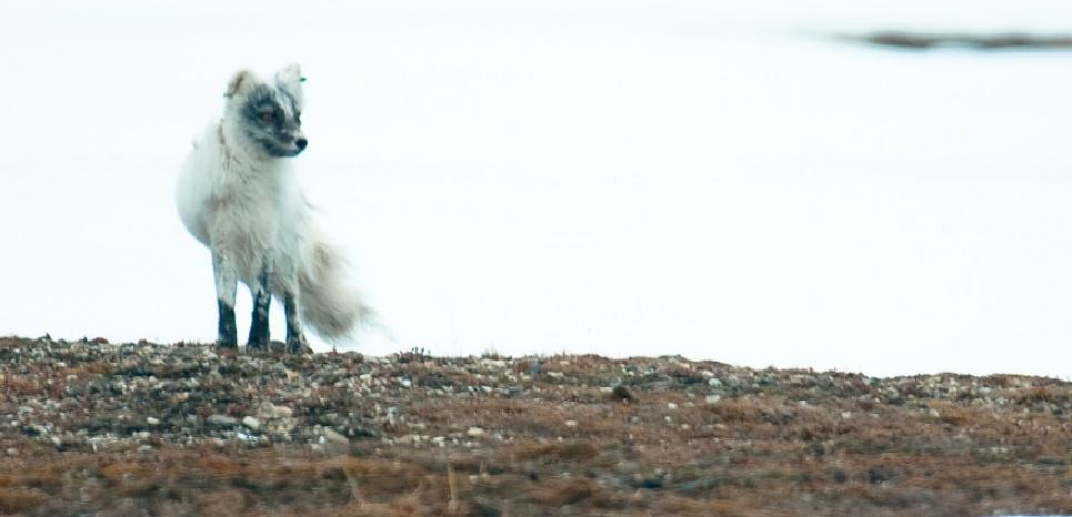 Dans l'Arctique norvégien, les animaux à l'épreuve du réchauffement