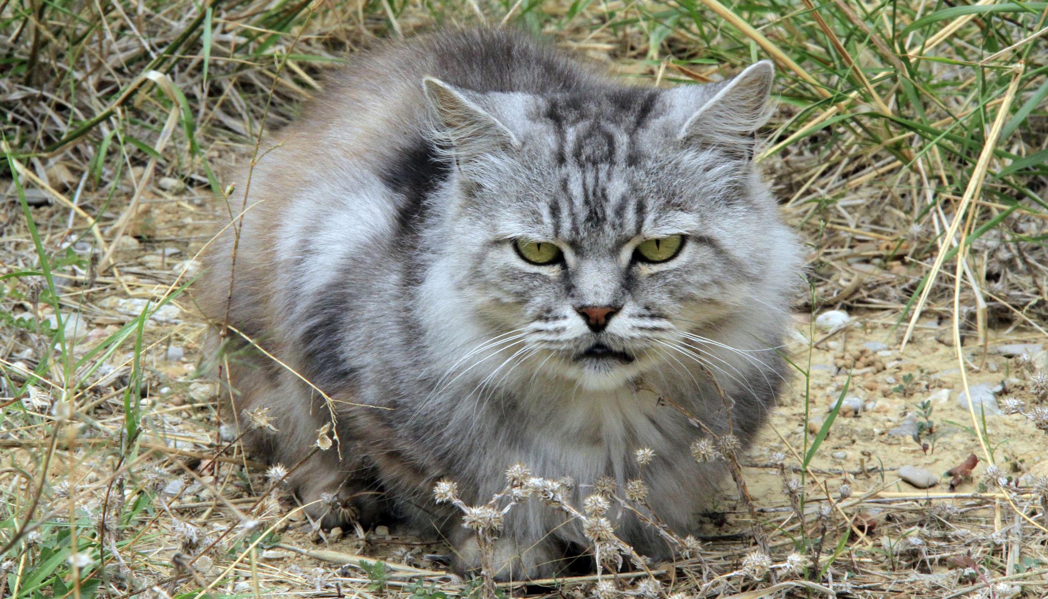 Le chat domestique : un prédateur sous surveillance !