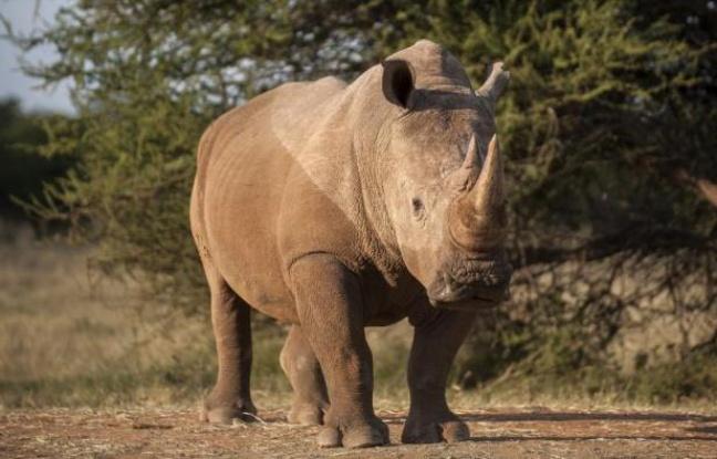 Rhinocéros: Toujours plus d'animaux tués en Afrique du Sud