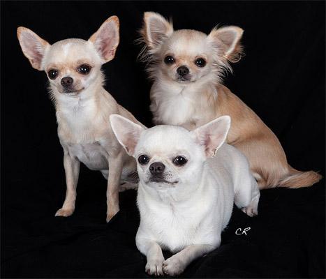 Pourquoi pas un Chihuahua ?